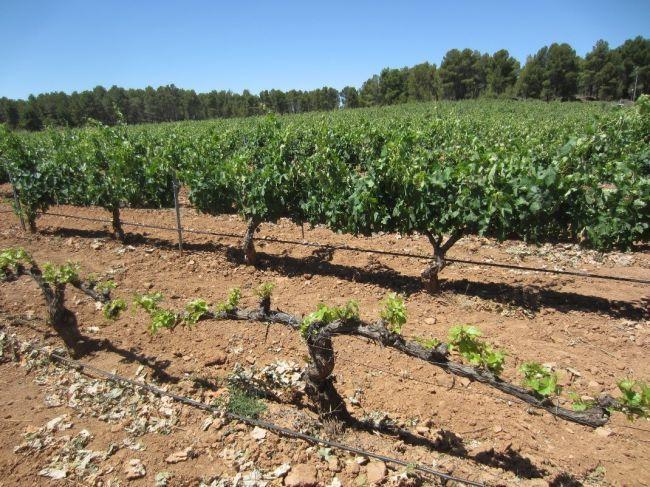 Investigadores del CEBAS-CSIC en Murcia implementan una novedosa técnica que consigue retrasar la maduración de la uva