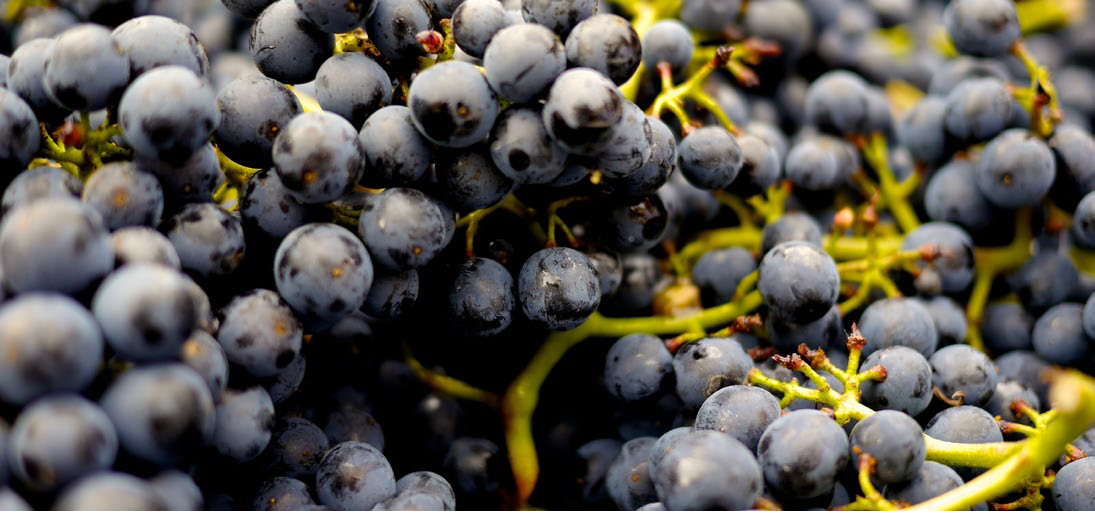 Spoilage Issue in Pinot Noir AWRI