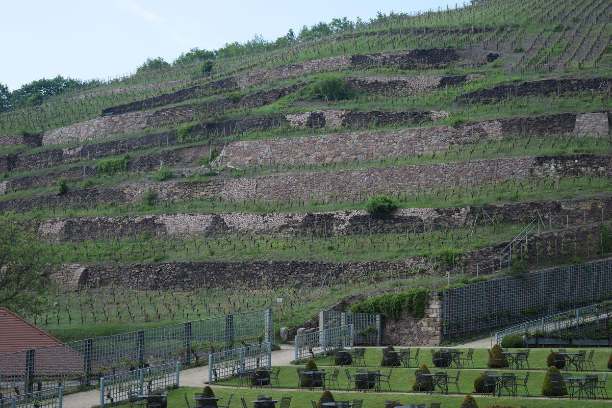 Sächsischer Wein weiter im Aufwind