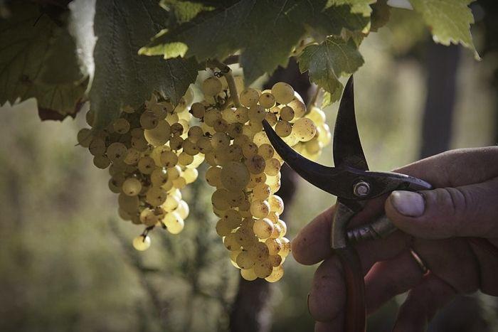 El Gobierno aprueba medidas extraordinarias por 90 millones de euros para el sector vitivinícola