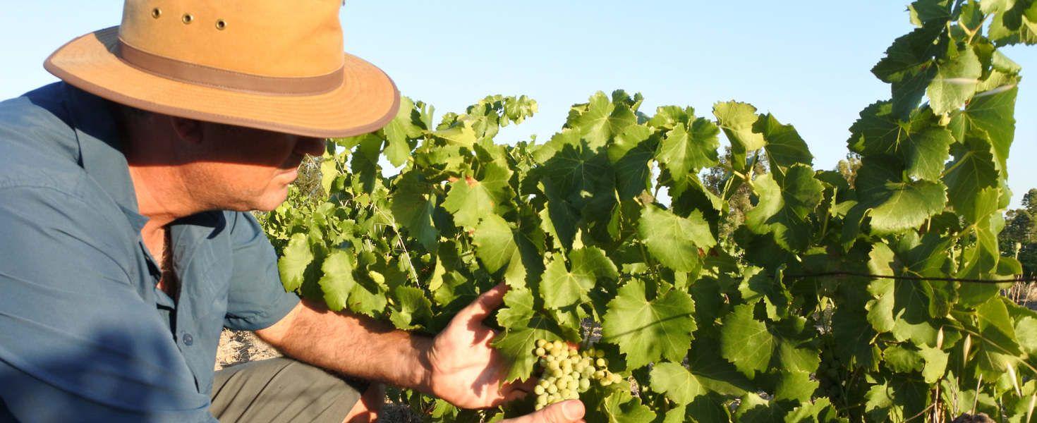 Korszerű fajtákra váltanak a borászok