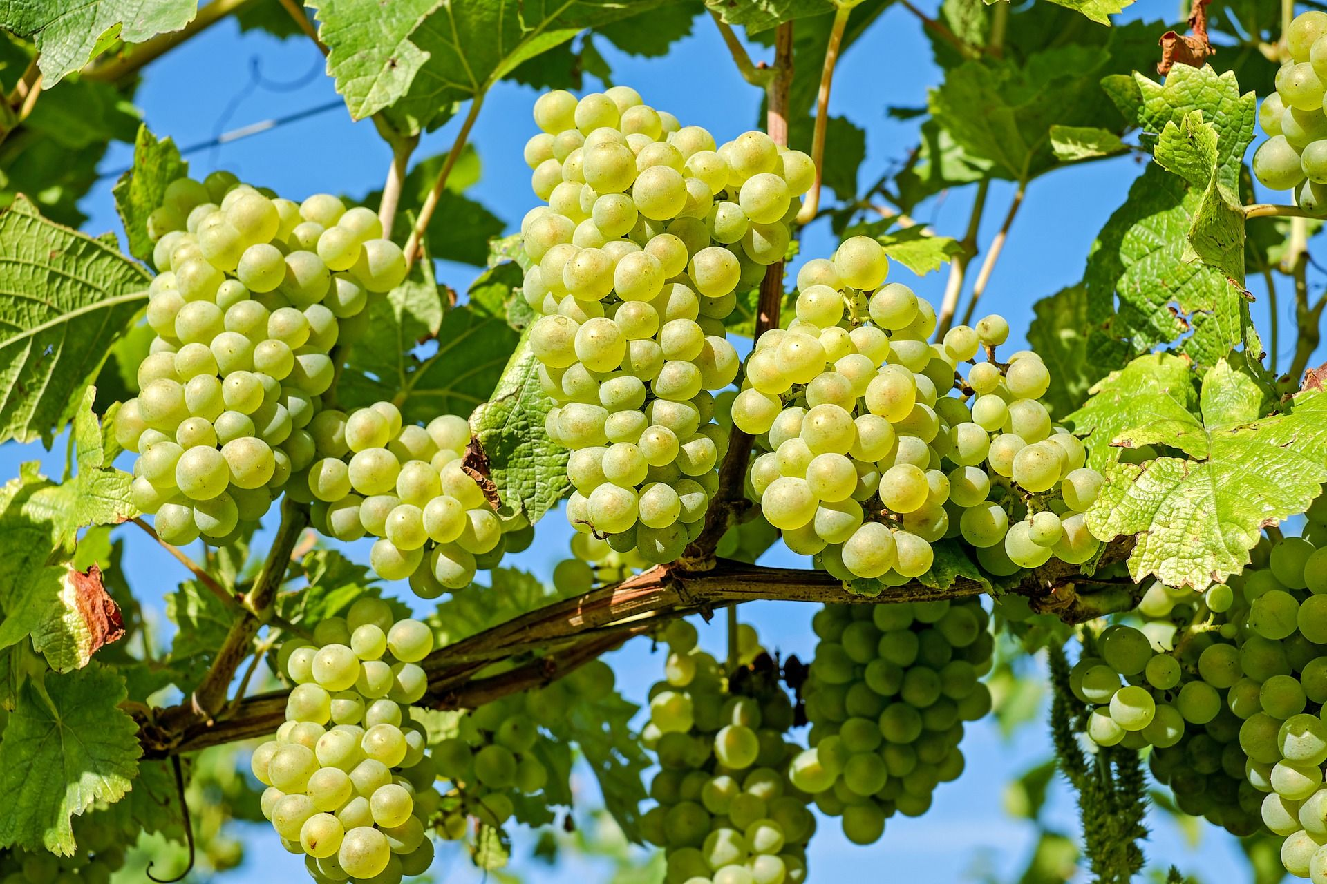 Effect of Postharvest Defoliation on Carbon and Nitrogen Resources of High-Yielding Sauvignon blanc Grapevines