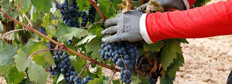 ¿Cuál es el coste de producción de uva de vino en España?