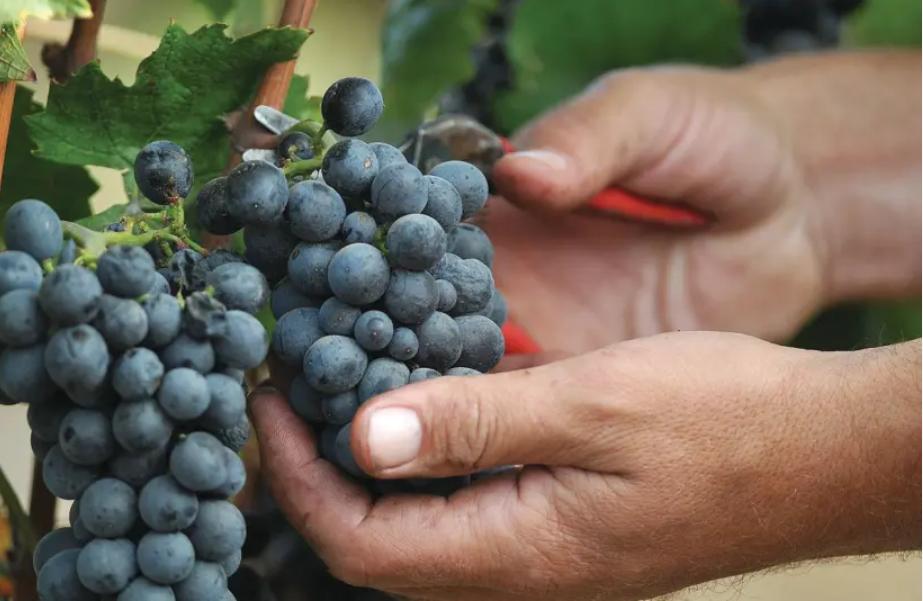 Wine talk: Israel's first cult wine